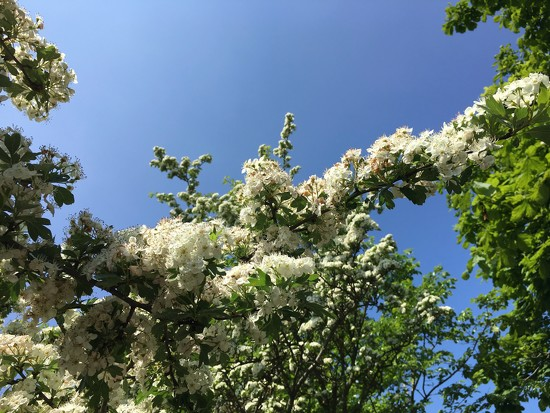Hawthorn hedge by 365projectmaxine
