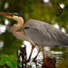 Great blue heron by congaree