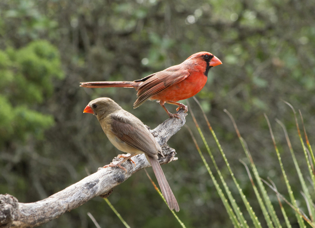 Mr. and Mrs. Cardinal by gaylewood
