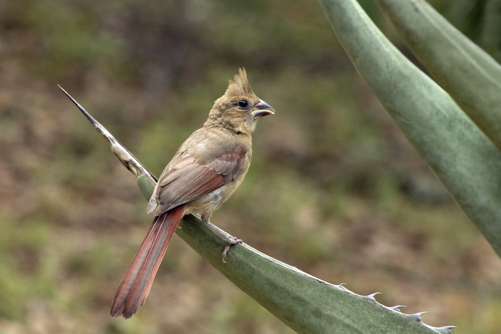 Young Female Cardinal by gaylewood