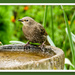 Young Starling by carolmw