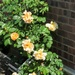 Blooms Roses