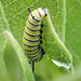 Monarch Caterpillar by cjwhite