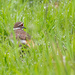 Killdeer in wet grass