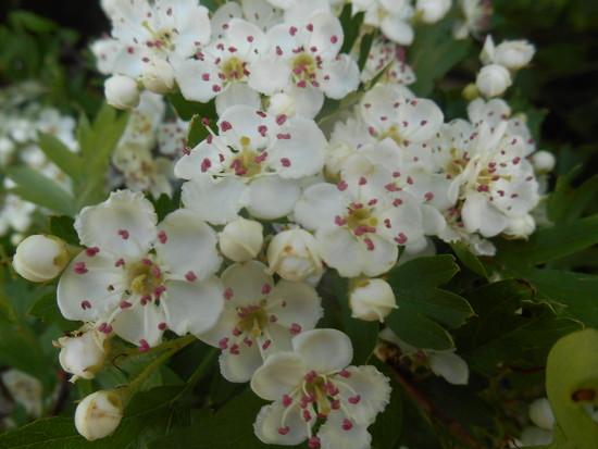 Hawthorn blossom...  by snowy