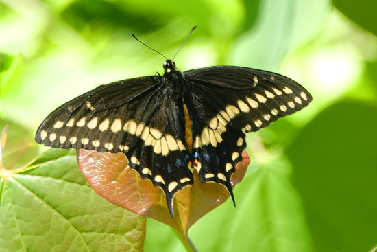 A Very Cooperative Swallowtail by milaniet