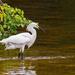 Snowy Egret Searching for Breakfast!