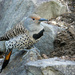Another Northern Flicker... by seattlite