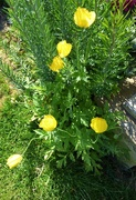 23rd May 2018 - Welsh poppies