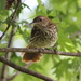 Baby Brown Thrasher