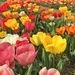 Tulips of spring.