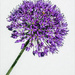 Isolated Allium