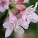 Beauty Bush Flower