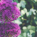 allium and eucalyptus