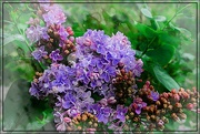 16th May 2018 - For the Love of Lilacs