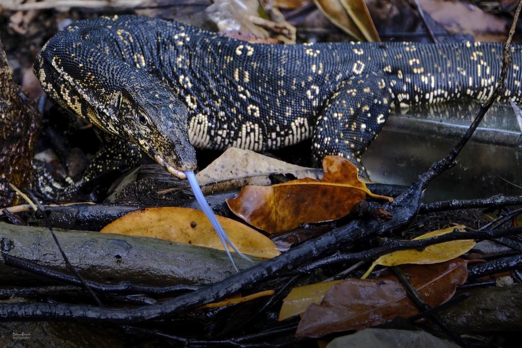 Blue-tongued monitor lizard by dkbarnett
