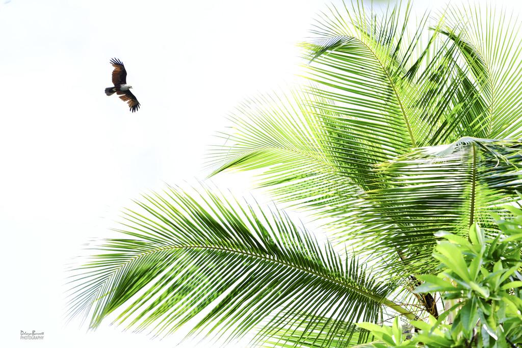 Coconut palm and kite by dkbarnett