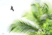 1st May 2018 - Coconut palm and kite