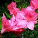 3064-0523 Pink Azaleas