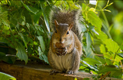 23rd May 2018 - Squirrel Tearing Into Her Walnut!
