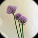 chives  by peterday