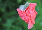 24th May 2018 - The Poppy Has Its Hat On ......