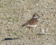 24th May 2018 - killdeer on the road_DxO