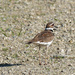 killdeer on the road_DxO
