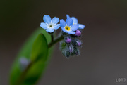 24th May 2018 - Forget-me-not