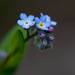 Forget-me-not by leonbuys83