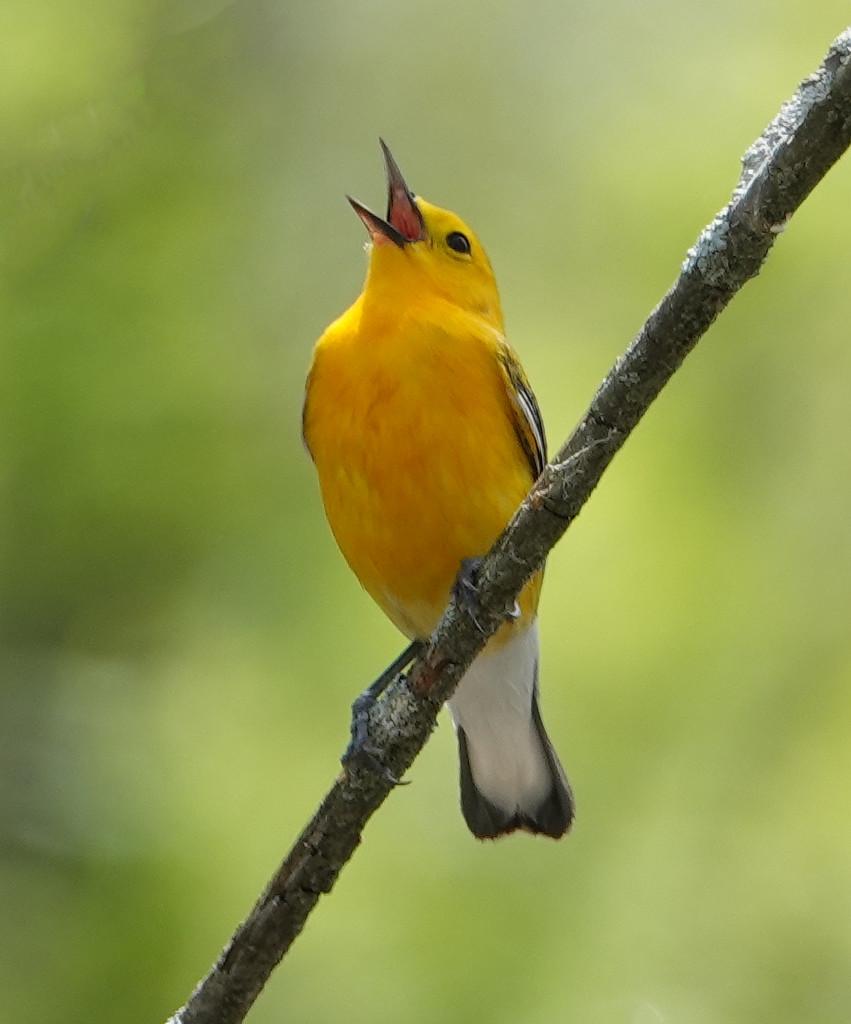 Prothonatary Warbler by annepann