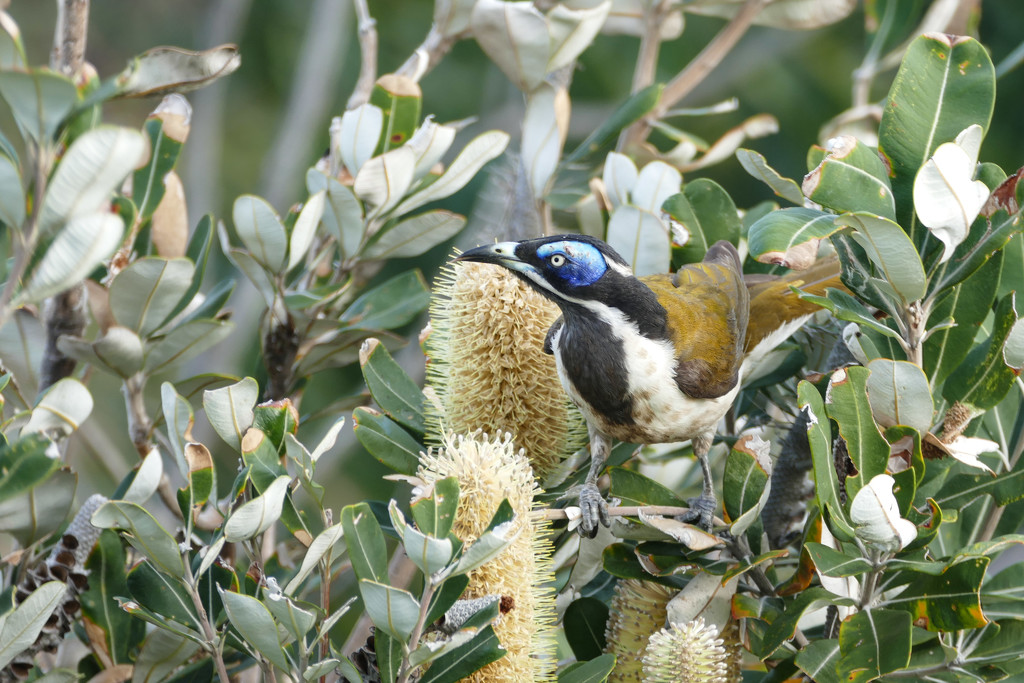 Blue-faced Honeyeater on banksia flowers by hrs