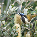 Blue-faced Honeyeater on banksia flowers