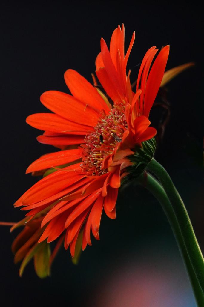 Hardiest Flower I Have by milaniet