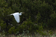 24th May 2018 - White Egret Flying and Talking