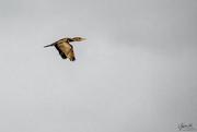 25th May 2018 - Cormorant in Flight