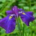 Iris by congaree