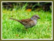 25th May 2018 - Dunnock