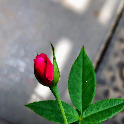 The rosebud by veengupta