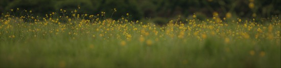 Buttercups by motherjane