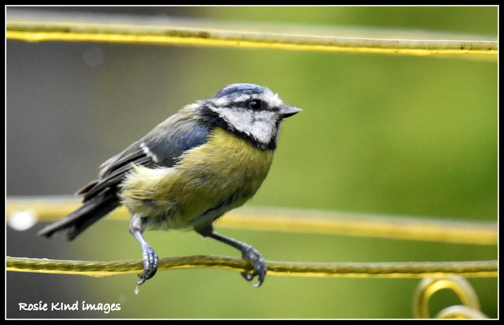 A soggy blue tit between the lines by rosiekind