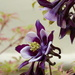 Aquilegia. by chris17