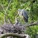 Heron and Babies  by susiemc