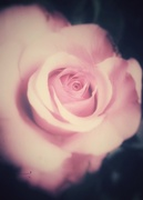 25th May 2018 - Dreamy Rose