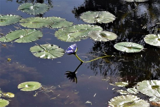 One Waterlily ~ by happysnaps