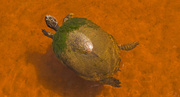 25th May 2018 - Algae Turtle!