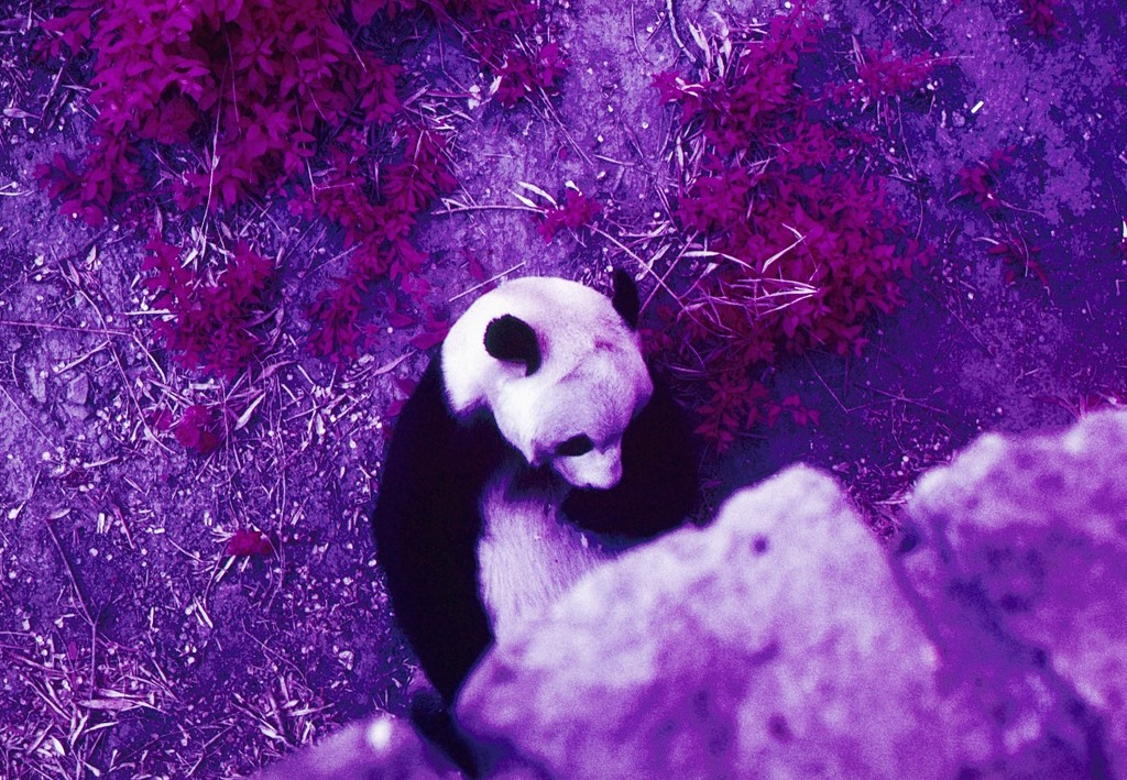 Panda by peterdegraaff