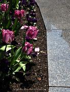 25th May 2018 - three tulips