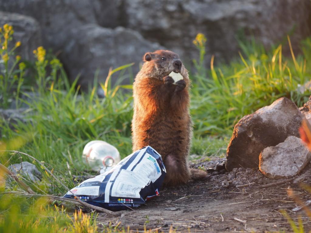 Greg Groundhog's Snack by selkie