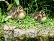 26th May 2018 - Mallard ducklings